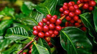 コーヒー豆の栽培とは?科学的に見た4つの生育条件を簡単に解説