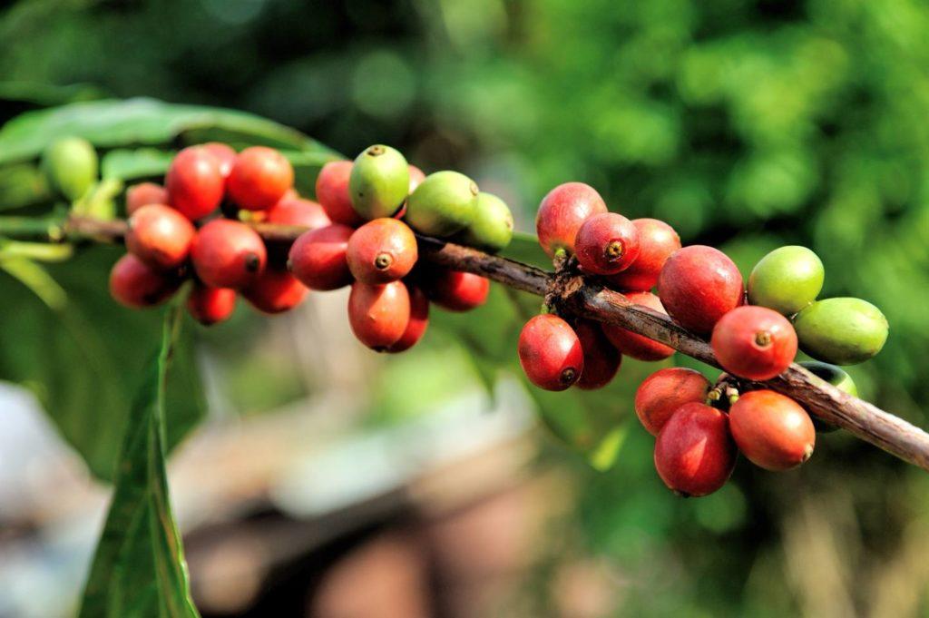 苦味が強いコーヒー豆の種類