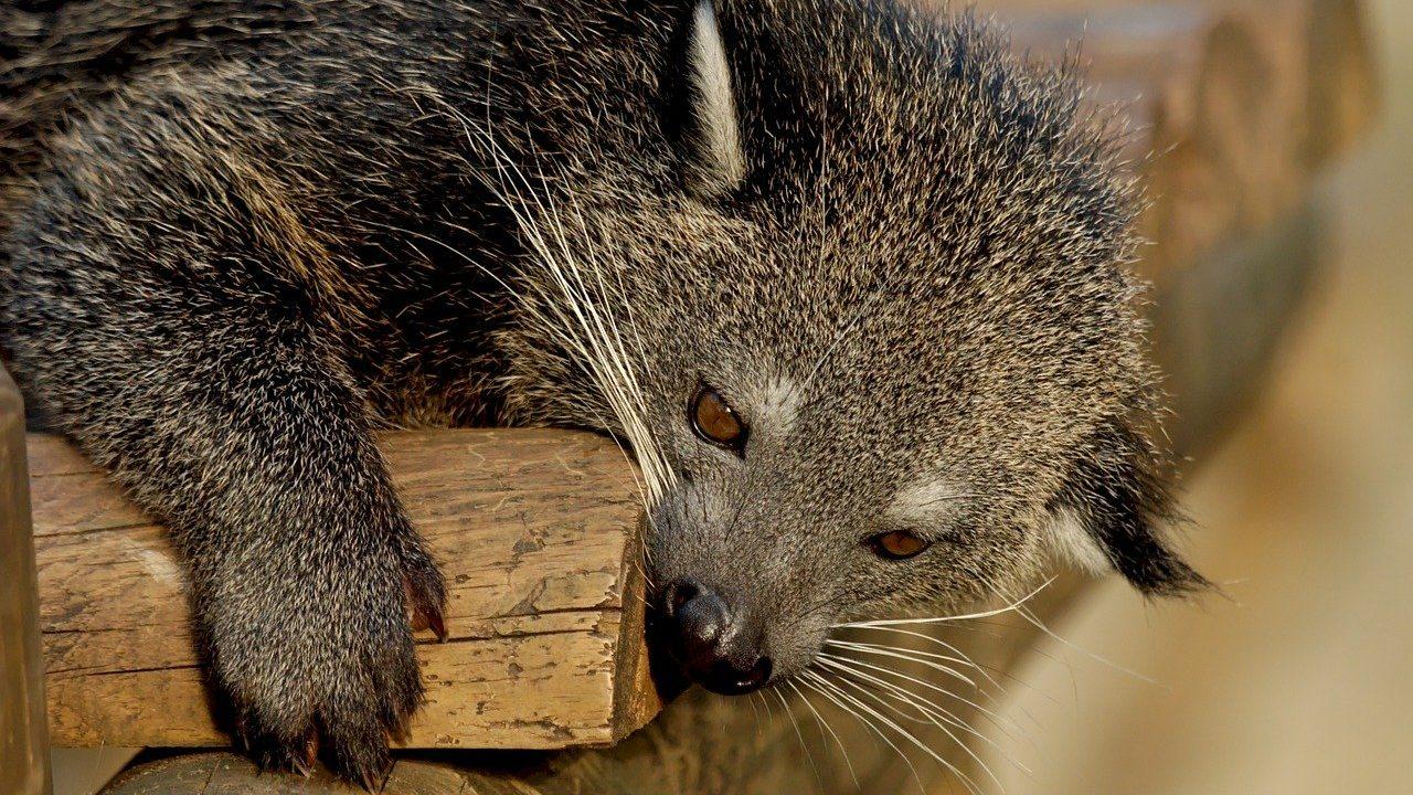 ジャコウネコの糞は香水にも使われる
