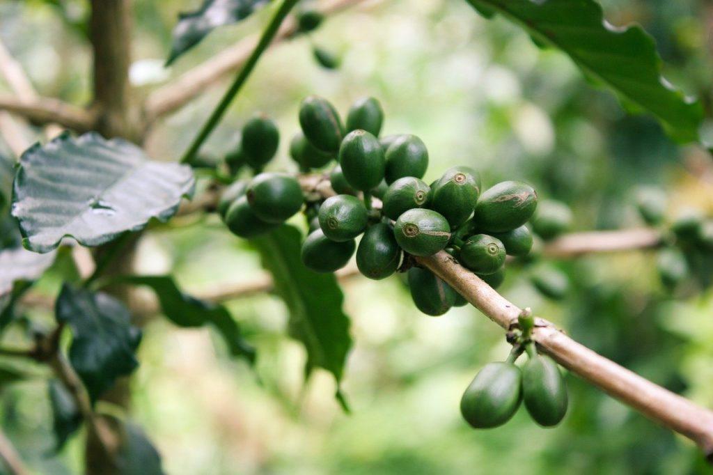 グアテマラコーヒーの等級・グレード