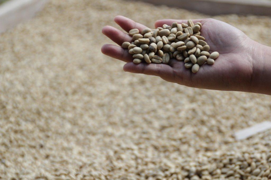 ジャコウネコの糞から作られるコーヒーは「コピ・ルアク」