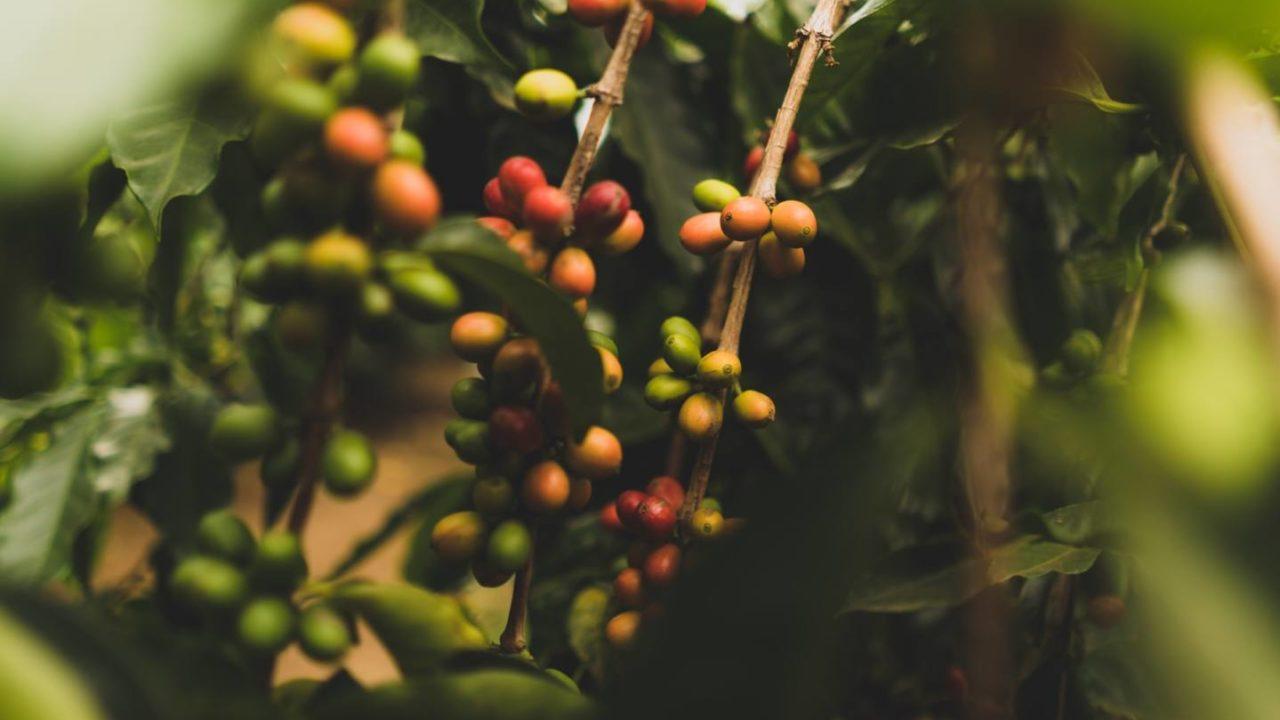 ハワイコナコーヒーとは?