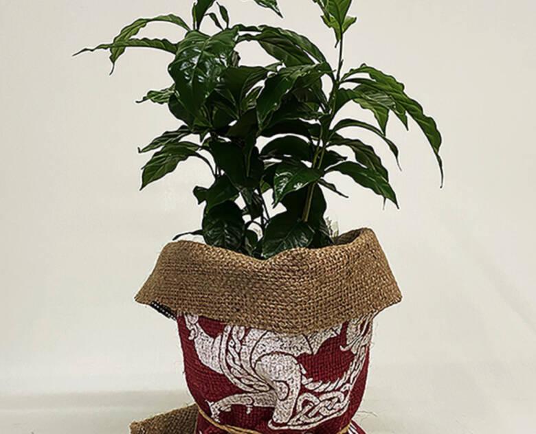 フラワーギフト花樹有 コーヒーの木