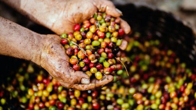 コーヒーの実「コーヒーチェリー」はどのような場所で栽培されているのか